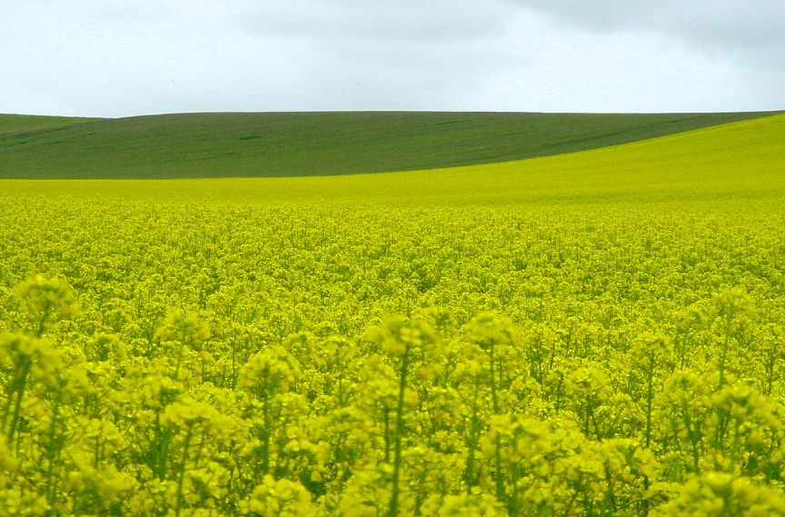 Mustard Fields Canterbury